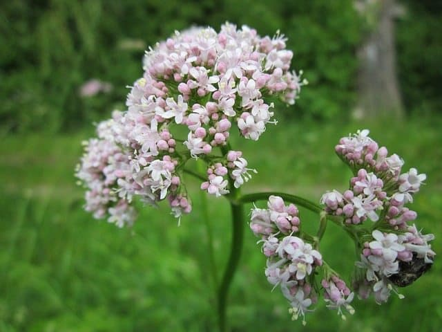 Valerian root for single mom calm stress relief